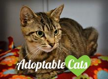 http://shsanimalshelter.com/wp-content/uploads/2016/03/adoptablecats3.jpg